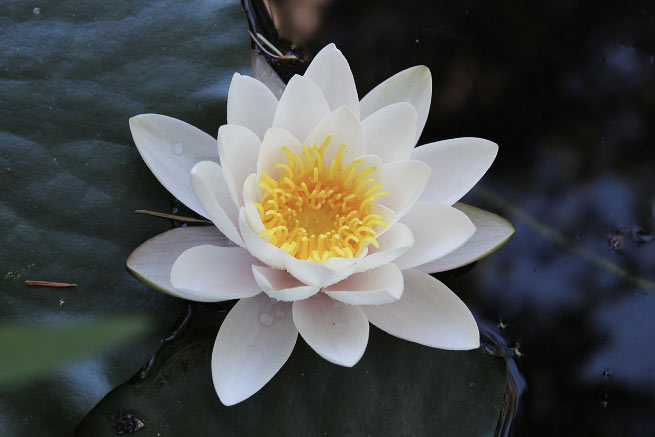 white lotus kamala quale acupuncture eugene oregon